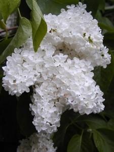 white_lilac