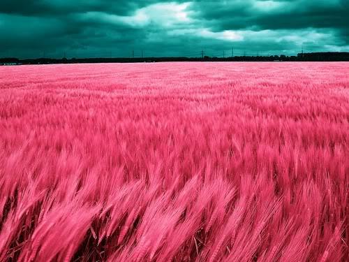 pink-grass